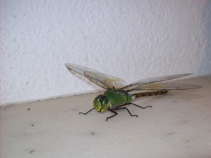 Grenn Snaketail Dragonfly