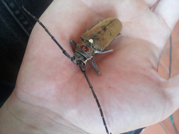 Red spotted Longhorn Beetle